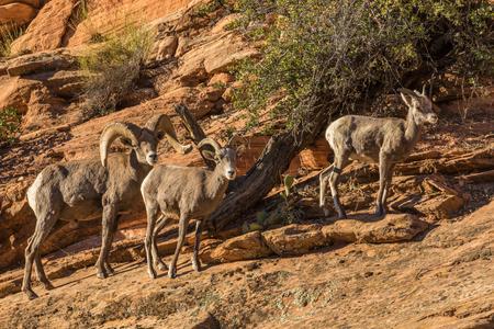 rutting: Desert Bighorn Sheep in Rut