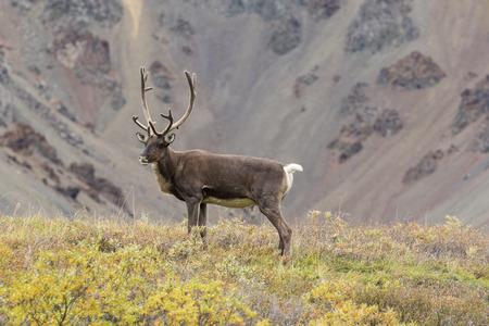 Barren Ground Caribou Bull in Velvet Stock Photo