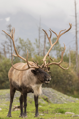 barren: Barren Ground Caribou Bull