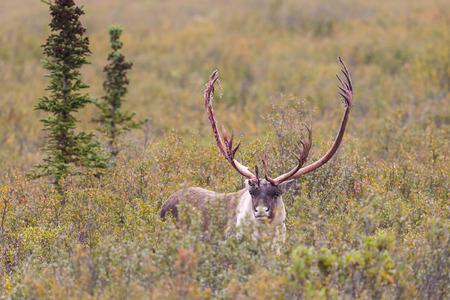 Barren Ground Caribou Bull in Fall