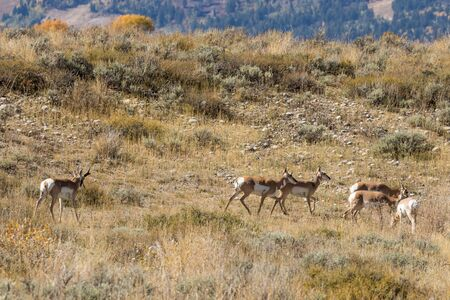 Pronghorn Antelope Herd in Rut Stock Photo