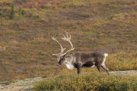 Caribou Bull in Velvet