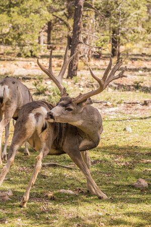 mule deer: Mule Deer Buck