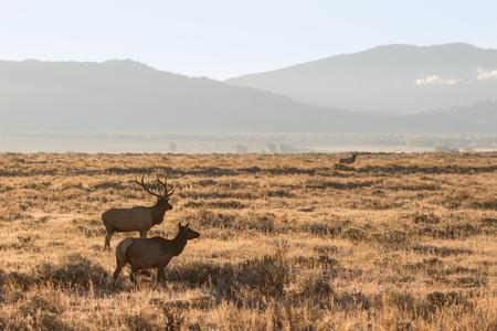 rutting: Bull and Cow Elk in Rut Stock Photo