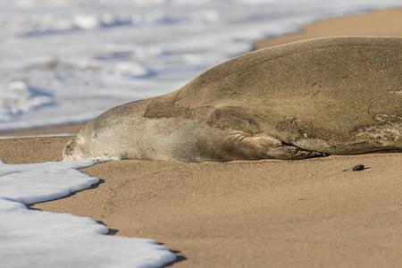 ビーチで絶滅危惧種ハワイアンモンク シール