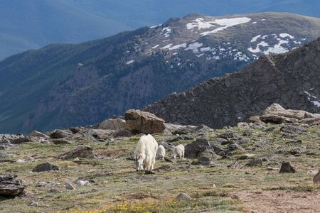 Mountain Goat Nanny and Kids