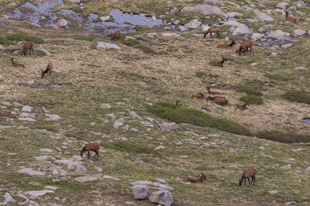 wapiti: Elk Herd in Summer