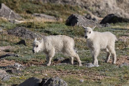 baby goat: Mountain Goat Kids Stock Photo