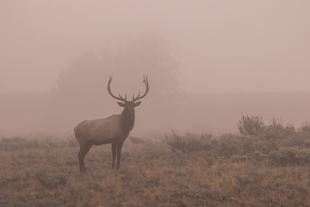 wapiti: Bull Elk in fog Stock Photo