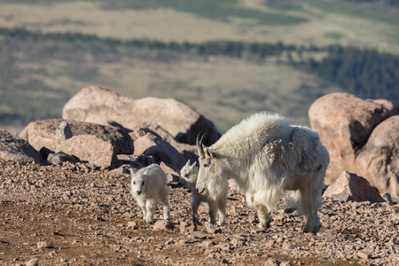 Mountain Goat Nanny and Young Stock Photo