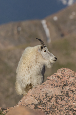 Regal Mountain Goat