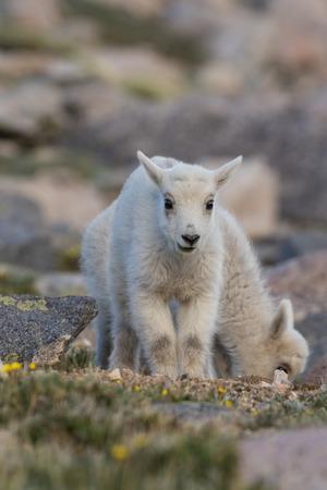 Mountain Goat Kids Stock Photo