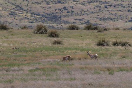 rutting: Pronghorn Antelope Herd in Rut Stock Photo