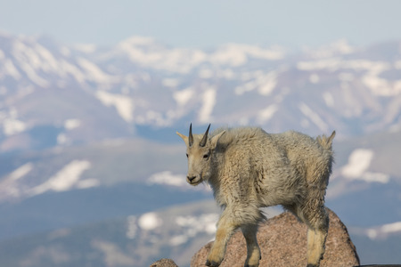 Mountain Goat on the rock.