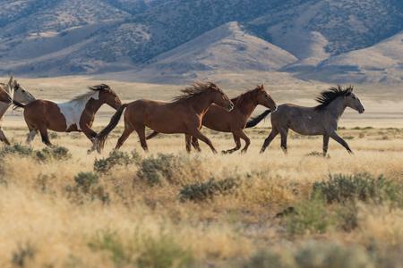 Wild Horses (mustangs) Foto de archivo