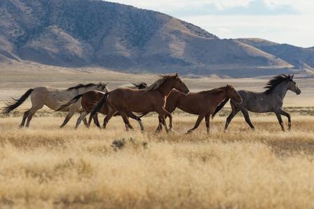 Wild Horses (mustangs) Stockfoto