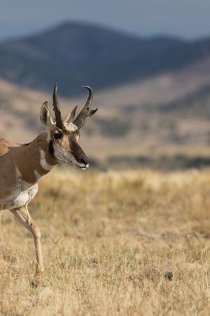 Pronghorn Antilope Buck auf der Prärie Standard-Bild - 89475767