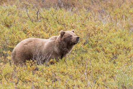 Ours Grizzly en Alaska Banque d'images - 89497153