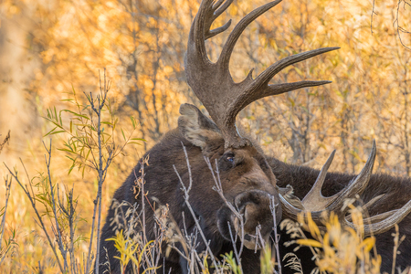 Bull Moose in the Fall Rut