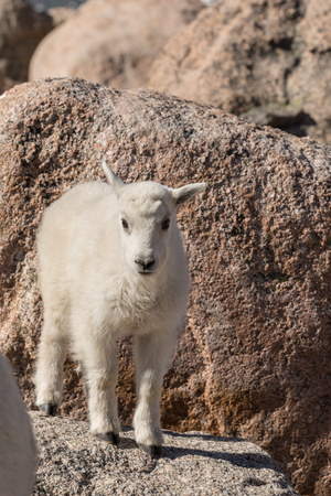 Cute Mountain Goat Kid Stock Photo