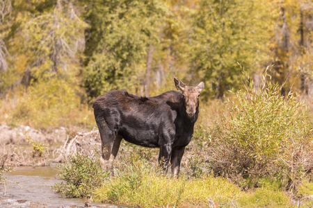 Cow Moose in Fall