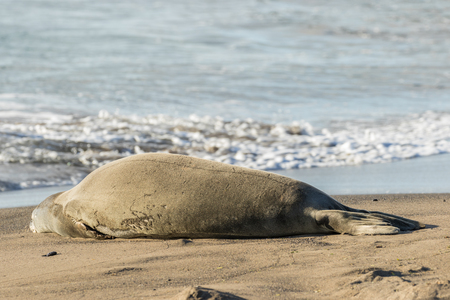 Hawaiian Monk Seal on Beach