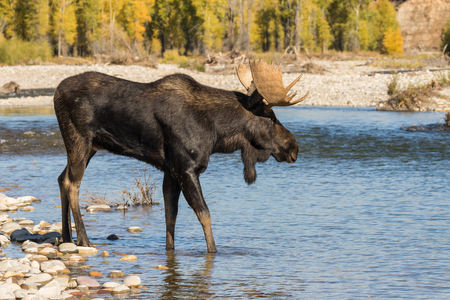 Bull Moose Crossing River in the Rut