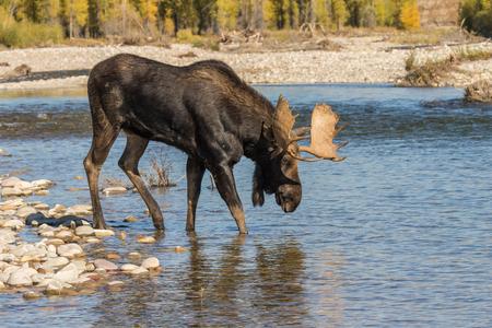 Bull Moose Crossing River dans l'ornière Banque d'images - 89697623