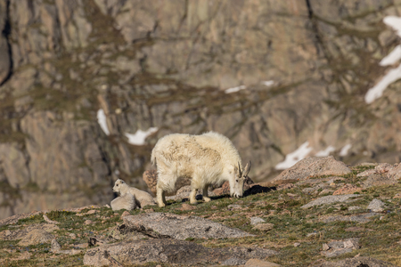 Mountain Goat Nanny and Her Young