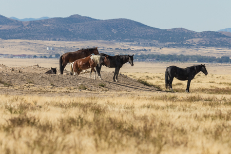 Wild Horses in the Utah Desert