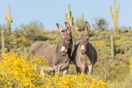 Wild Burros in the Arizona Desert