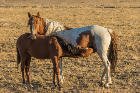 Wild Horse Mare and Foal Nursing Reklamní fotografie
