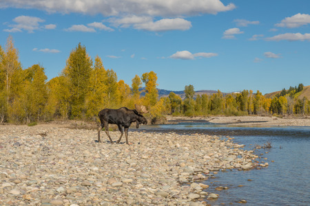 Bull Moose During the Fall Rut in Wyoming
