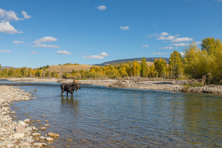 Bull Moose During the Fall Rut in Wyoming