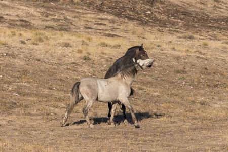Pair of Wild Horse Stallions Fighting Stock Photo