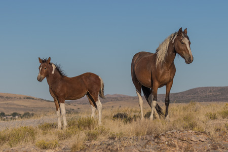 Wild Horse Mare and Foal Stock Photo