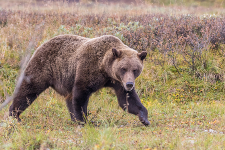 Grizzly Bear Banco de Imagens