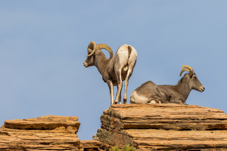 Desert Bighorn Sheep Ewe and Ram in Rut