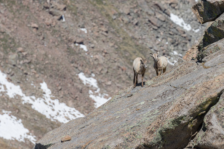 Rocky Mountain Bighorn Sheep Ewes