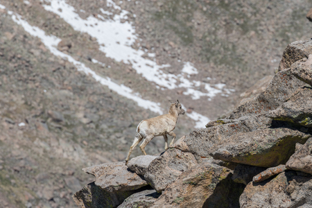 Rocky Mountain Bighorn Sheep Ewe Stock Photo