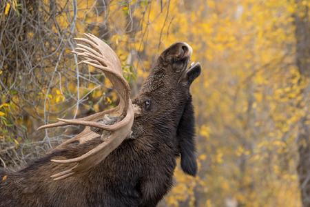 Bull Moose Flehming in the Rut Imagens