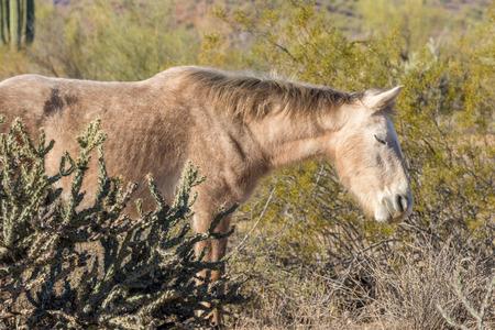 Wild Horse in the Arizona Desert