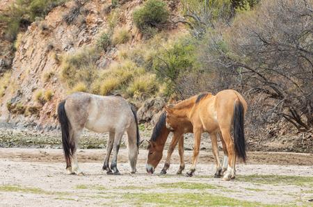 Herd of Wild horses in the Arizona Desert