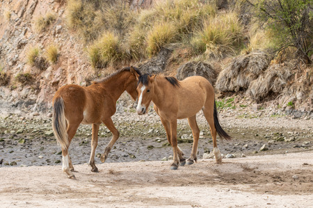 Wild Horses Sparring in the Arizona Desert Imagens