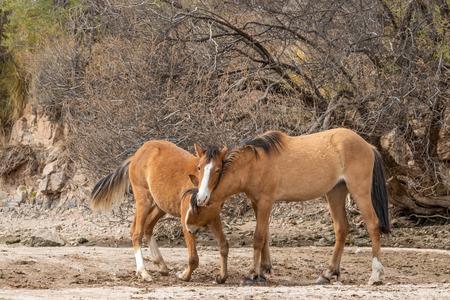 Wild Horses Sparring in the Arizona Desert Stock Photo