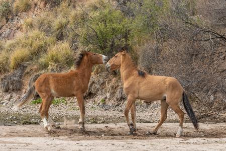 Wild Horses Fighting in the Arizona Desert