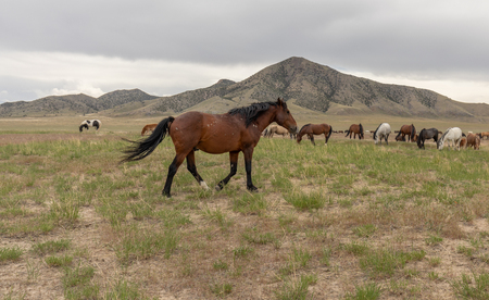 Herd of Wild Horses in Utah