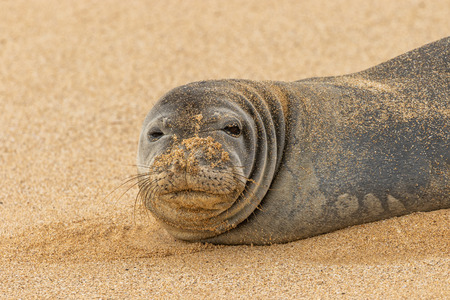 Endangered Hawaiian Monk Seal Stock Photo