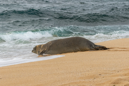 Endangered Hawaiian Monk Seal Stock Photo