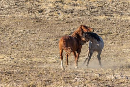Wild Horse Stallions Fighting in the Desert Stock Photo - 105483086